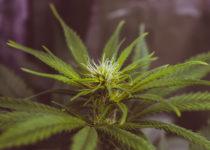 El consumo de marihuana podría aumentar el riesgo de cáncer de testículos